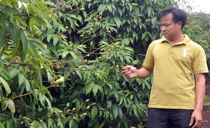 Tân Yên: Sản lượng vải thiều sớm ước đạt  13 nghìn tấn