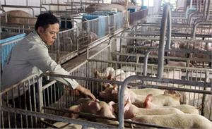 Mở lối cho chăn nuôi lợn: Cơ hội tái cơ cấu, giảm lệ thuộc xuất khẩu tiểu ngạch (kỳ 2)