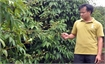 Tan Yen: early-ripe lychee output expected to double last year's figure