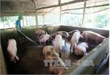 Chăn nuôi sử dụng chất cấm sẽ bị phạt ít nhất 100 triệu đồng