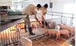 Nhiều giải pháp cấp bách  ổn định ngành chăn nuôi