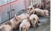 Một doanh nghiệp cam kết thu mua 40.000 con lợn