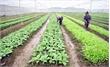 Lạng Giang: Xây dựng 5 mô hình nông nghiệp ứng dụng công nghệ cao