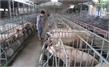 Bộ Tài chính vào cuộc hỗ trợ người chăn nuôi lợn