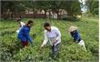 Sơn Động phát triển vùng trồng chè