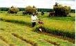 Ba trường hợp được miễn thuế sử dụng đất nông nghiệp từ năm 2017