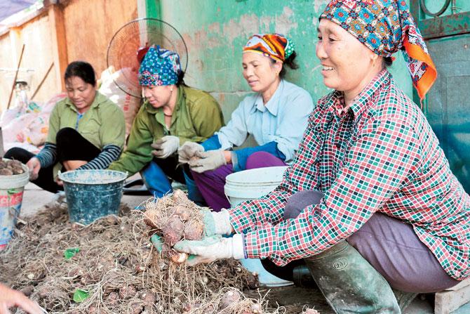 Vui mùa, khoai sọ, Khám Lạng, Lục Nam