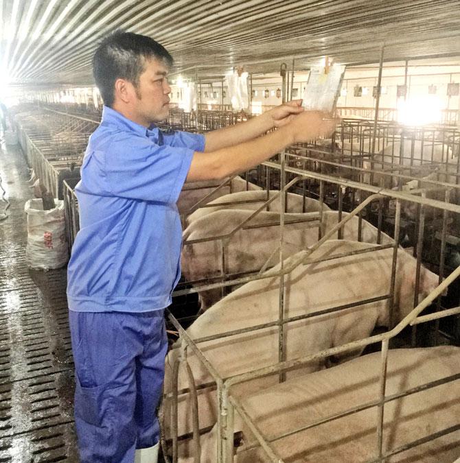 Giá lợn rẻ, nguy cơ,  dịch bệnh, bùng phát