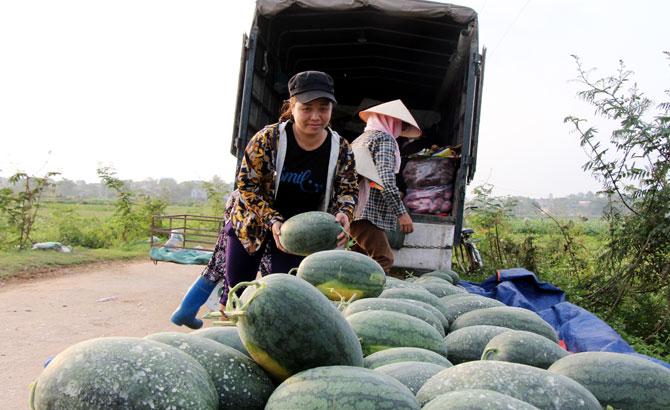 Lục Nam: Dưa hấu thu 216 triệu đồng/ha