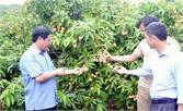 Tân Yên mở rộng vùng cây ăn quả chất lượng cao