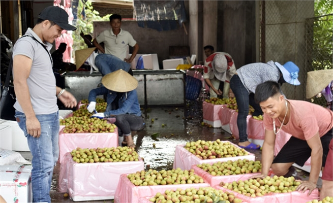 Bac Giang proactively expand markets for lychee