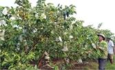 Ổi lê Đài Loan cho trái ngọt