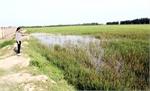 Xã Quang Châu (Việt Yên): Nhiều diện tích lúa thất thu chưa rõ nguyên nhân