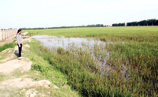 lúa thất thu,  Quang Châu, Việt Yên, hỗ trợ,  nông dân