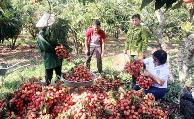 Bảo đảm ATTP mùa thu hoạch vải thiều