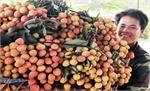 Giá vải thiều tại Lục Ngạn gần 60 nghìn đồng/kg