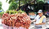 Nhiều thương nhân Trung Quốc đến huyện Lục Ngạn thu mua vải thiều
