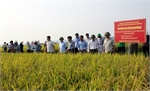 Lúa Nihonmai bội thu trên đất Lạng Giang