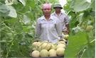 Mô hình trồng dưa lưới trong nhà màng đạt kết quả tốt