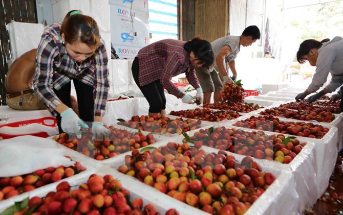 Litchi in Bac Giang sold well