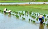 Gieo cấy hơn 8,6 nghìn ha lúa