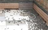 Thu nửa tỷ đồng mỗi năm nhờ nuôi ếch