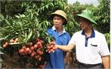 Tân Sơn, nhộn nhịp mùa vải chín