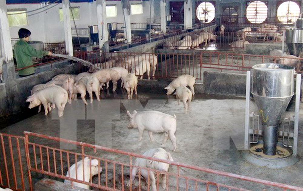 Tiêu thụ lợn sang Trung Quốc vẫn là xuất khẩu tiểu ngạch