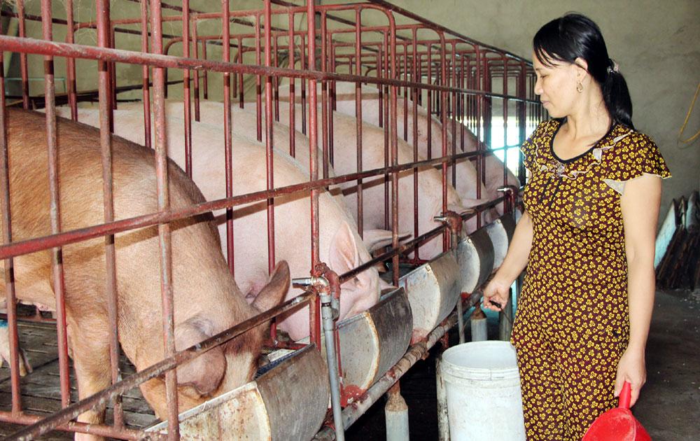 Giá lợn tăng, không vào đàn ồ ạt