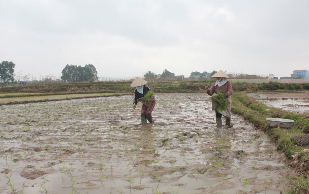 Gieo cấy hơn 46 nghìn ha lúa mùa trong khung thời vụ