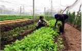 Hướng dẫn người dân trồng rau an toàn