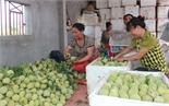 Lục Nam: Na đầu mùa có giá 38-50 nghìn đồng/kg