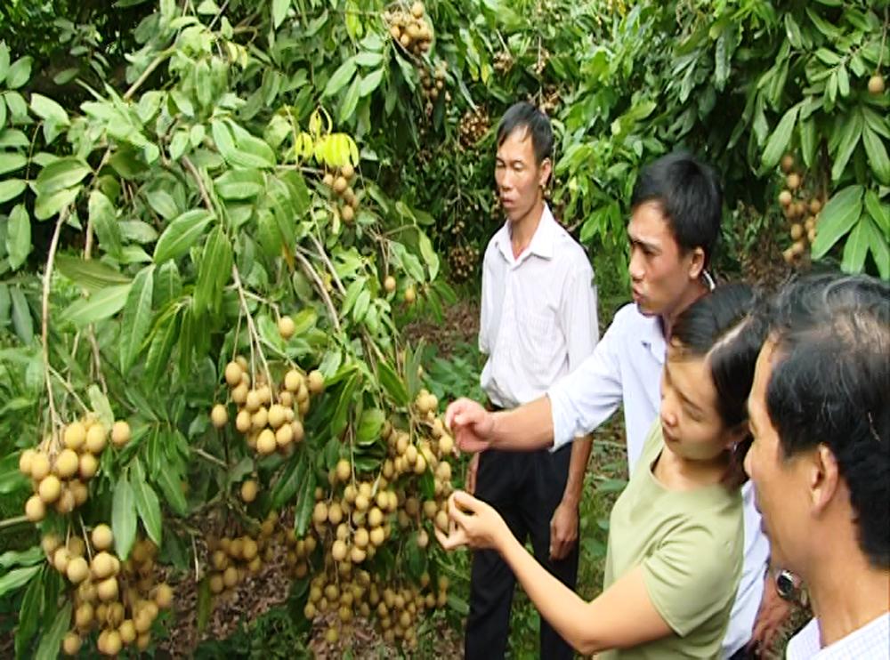 """Từ tháng 3-2017 đến nay, UBND huyện Yên Thế đã triển khai mô hình, """"sản xuất nhãn an toàn"""" thu hút 13 hộ thôn Đồng Lân, xã Hồng Kỳ tham gia với tổng diện tích hơn 3 ha."""