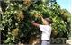Yen The district steps up safe longan cultivation