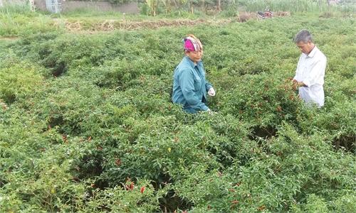 Đình Hả trồng ớt thu nhập cao