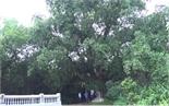 Về Bổ Đà thăm cây di sản