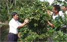 Khai thác lợi thế, phát triển cây có múi