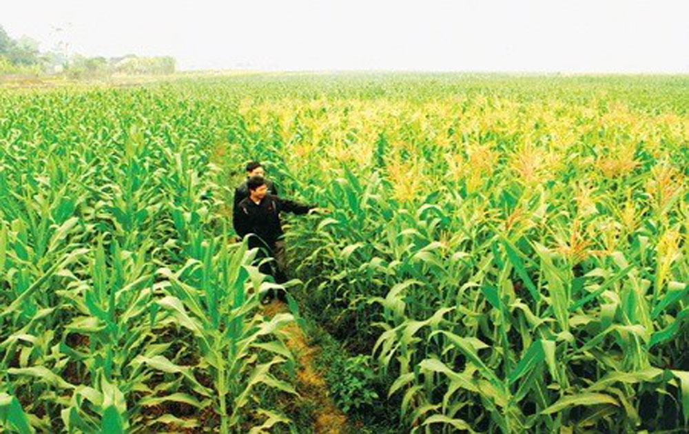 Vietnam spends nearly 1.7 billion USD on corn import every year