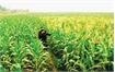 Vietnam spends nearly 1.7 billion USD on corn import every year