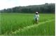 Đạm xanh giúp cây trồng khỏe, tăng năng suất