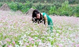 Lễ hội hoa tam giác mạch diễn ra từ tháng 10 tại Hà Giang