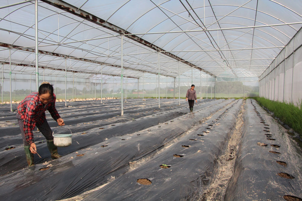 Tích tụ ruộng đất, tăng hiệu quả canh tác, ruộng rộng, lợi nhuận lớn