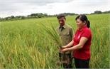 Bệnh vàng lá di động gây hại lúa: Nguy cơ thất thu hàng chục ha