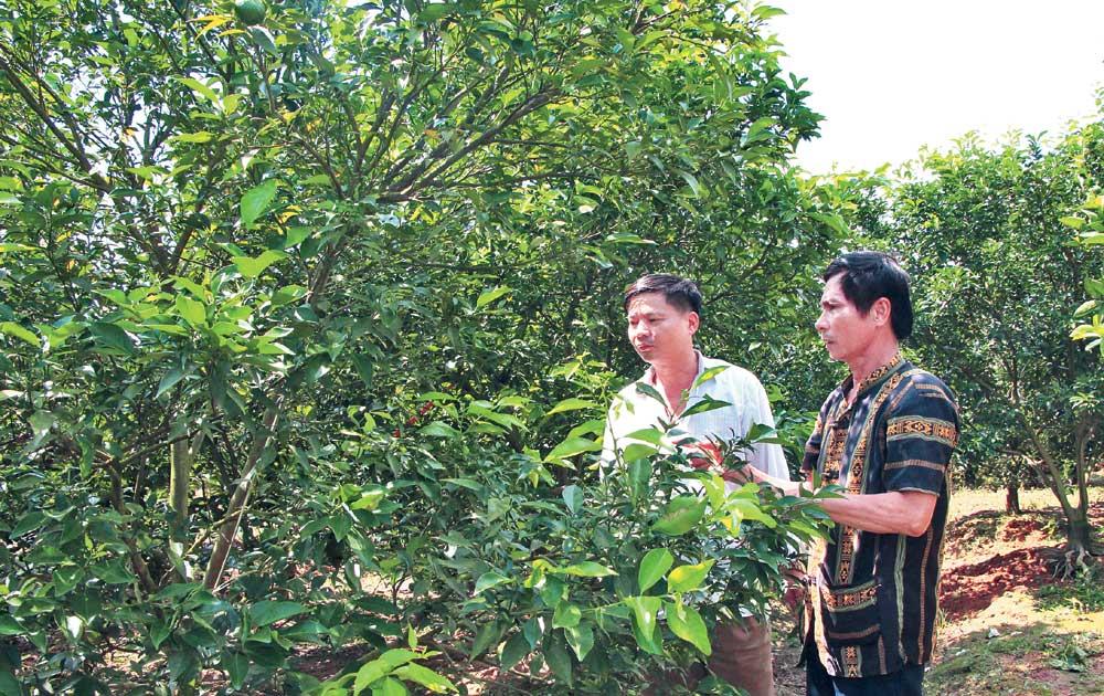 Lục Ngạn, nhiều vườn mất mùa,  cam Canh