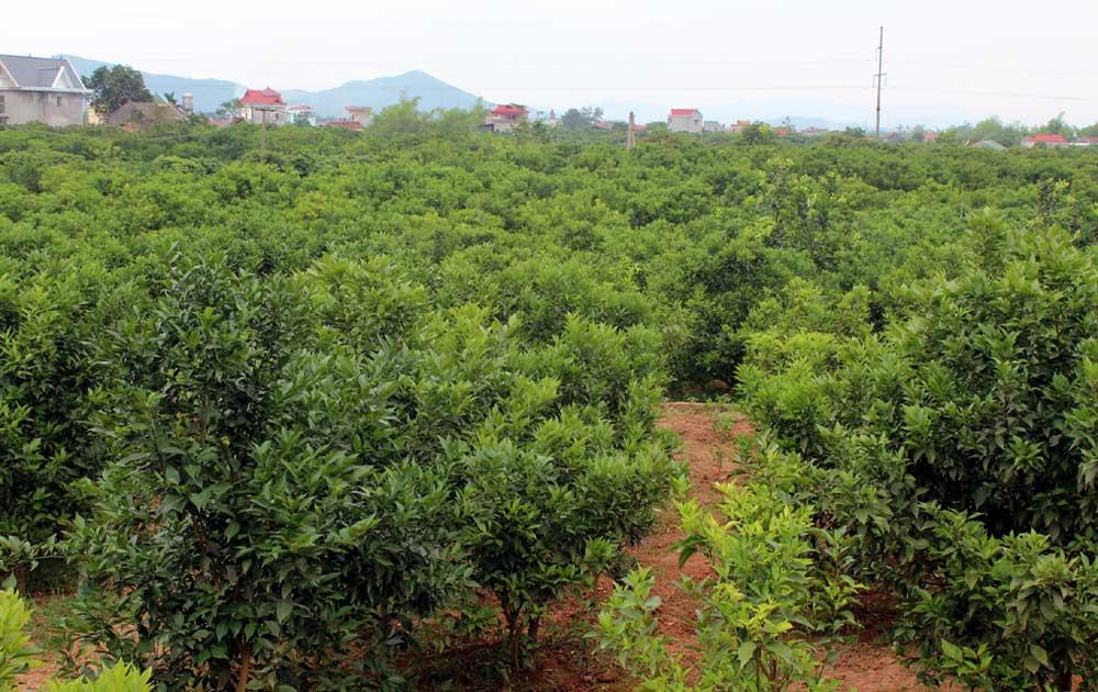 Lục Ngạn: Nhiều vườn mất mùa cam Canh