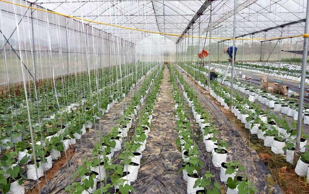 Phấn đấu gieo trồng 23 nghìn ha cây vụ đông