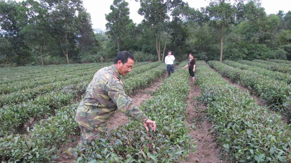 Vườn chè Bát Tiên của một hộ dân thị trấn Thanh Sơn. Ảnh: Huy Nam