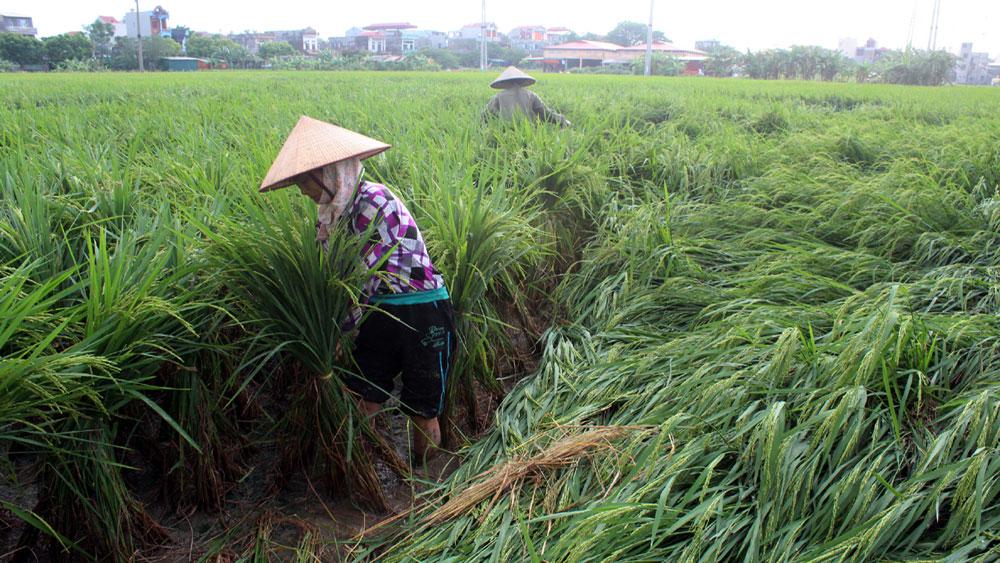 Gần 100 ha lúa, hoa màu bị đổ, hư hỏng do mưa dông