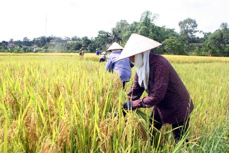 Tân Yên năng suất lúa mùa dự kiến đạt 57,5 tạ/ha