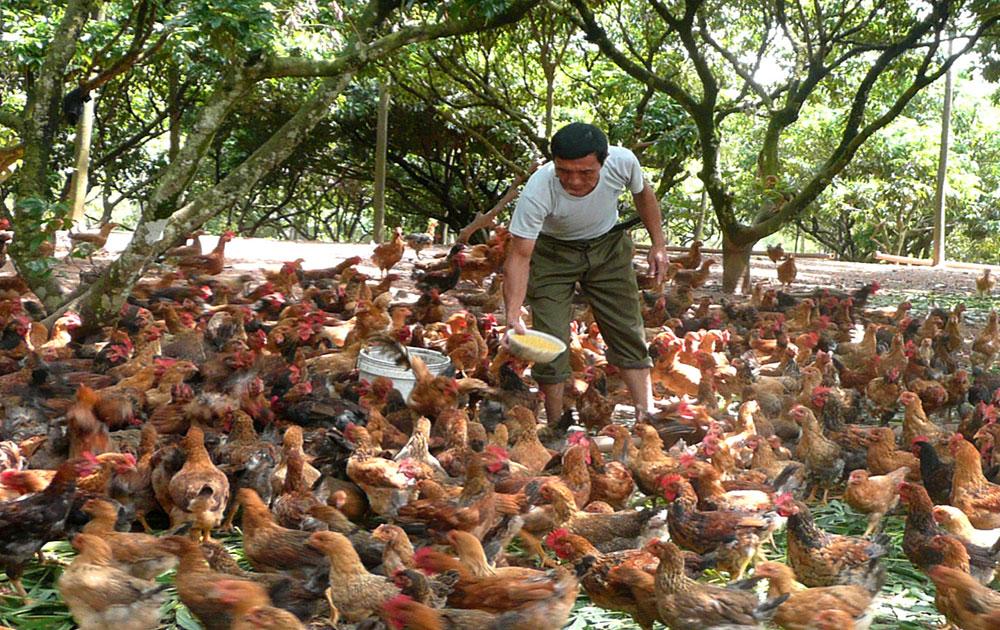 Người dân thu lãi 8-10 triệu đồng/1 nghìn con gà